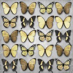 """Butterflies"" in | GOLD |"