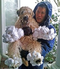 Look at my snow shoes! Wheaten terrier Kenzie left with iced-up . Animals And Pets, Funny Animals, Cute Animals, Wheaten Terrier Mix, Cute Puppies, Dogs And Puppies, Pet Dogs, Dog Cat, Doggies