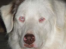 The merle allele, which produces a mingled or patchwork combination of dark and light areas, is the coat pattern most commonly associated with the breed. This merle (M) is dominant so that heterozygous dogs (Mm) show the pigmentation pattern; however, when two merles are bred, there is a statistical risk that 25% of the offspring will end up with the two copies of the merle gene (homozygous). These dogs usually have a mostly white coat and blue irises, and are often deaf, blind, or both
