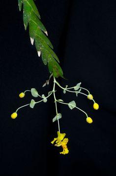 Lockhartia sp - Costa Rica