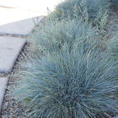 Festuca glauca Elijah Blue from Santa Rosa Gardens - Blue Fescue Modern Landscaping, Landscaping Plants, Front Yard Landscaping, Perennial Grasses, Ornamental Grasses, Perennials, Landscape Design, Garden Design, Silver Plant