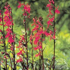 Lobelia 'Queen Victoria'  Cardinal Flower
