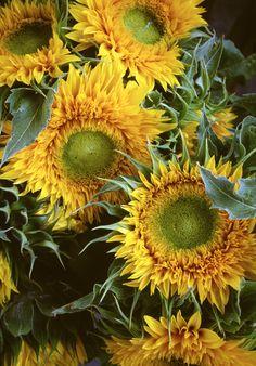 bobbauerflower  ' Spiky Sunflowers '   Floral art photograph of sunflowers shot at an outdoor farmer's market by Bob Bauer.  http://bobbauerflower.tumblr.com/ 4,209 notes