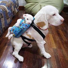 Gook y Gus beagles