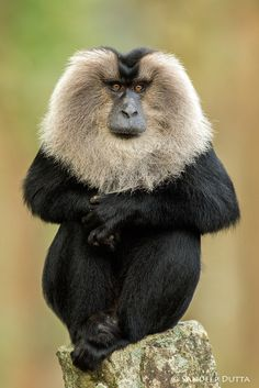 The lion-tailed macaque (Macaca silenus), or the wanderoo, is an Old World monkey endemic to the Western Ghats of South India. - photo by ..., via 500px