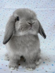 Today I'm gonna' introduce you guys to a kind of bunny, called the Holland Lop. The Holland Lop is a breed of rabbit originated from the Ne. Cute Little Animals, Cute Funny Animals, Cute Dogs, Baby Animals Pictures, Cute Animal Pictures, Cute Baby Bunnies, Mini Lop Bunnies, Mini Lop Rabbit, Pet Rabbit