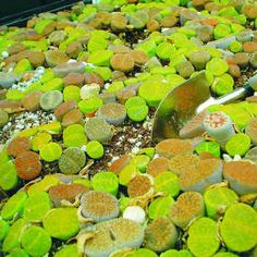Just WOW.  Captioned: succulent - Lithops