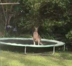 Freunde, habt ihr euch jemals gefragt, was passieren würde, wenn ein Känguru auf ein Trampolin springt? Bei Emma Heffernan aus Ninderry, Queensland, Australien, verirrte sich ein Känguru auf ihren Hinterhof. Dort hatte sie ein Trampolin stehen, was natürlich vom Känguru ausgetestet werden musste. Nun könnte man meinen, dass die Sprungkraft des Kängurus und das Trampolin [ ]