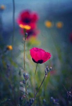 Poppies by Emma Marashlyan Amazing Flowers, Wild Flowers, Beautiful Flowers, Gorgeous Gorgeous, Simply Beautiful, Beautiful Things, Jolie Photo, Flower Wallpaper, Pretty Pictures