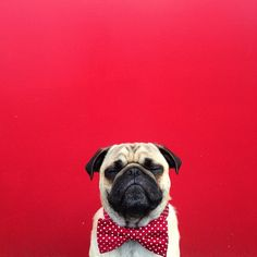 pug in a bow tie