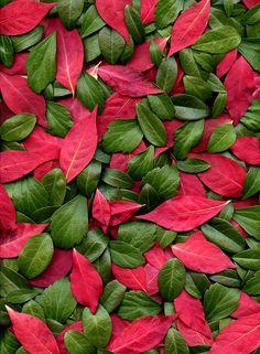 54880-02 Vinca minor, Pachysandra terminalis, Euonymus alatus by horticultural art, via Flickr