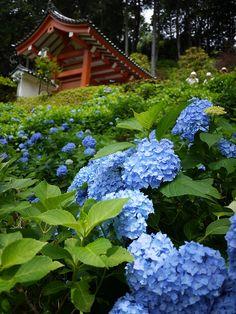紫陽花と門 Hydrangea at Mimurotoji Garden in Uji, Kyoto, Japan