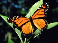 The Monarch Butterfly (Danaus plexippus) is a milkweed butterfly (subfamily Danainae), in the family Nymphalidae. Orange Butterfly, Butterfly Print, Monarch Butterfly, Butterfly Exhibit, Butterfly Wallpaper, Butterfly Symbolism, Butterfly Meaning, Butterfly Video, Butterfly Pictures