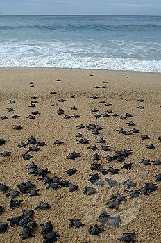 Baby Sea Turtles making for the ocean