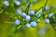 Start Thinking About This Year's Blueberry Crops! How to Keep Birds Away