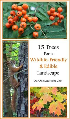 15 Trees for a wildlife-friendly, edible landscape. A wealth of info on wildlife value and edible parts of trees!