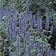 If you want butterflies, you can't do without Agastache 'Blue Fortune.'   It attracts them like crazy, as well as being a very attractive flowering perennial.