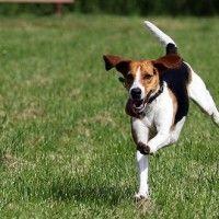 #dogalize Razas de Perros: Beagle-Harrier caracteristicas y cuidados #dogs #cats #pets