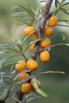 Potted Seaberry Care: Tips For Growing Seaberries In Containers - Seaberry is a fruiting tree native to Eurasia that produces bright orange fruit that tastes something like an orange. But how does it fare in containers? Learn more about container grown seaberry plants and potted seaberry care in this article.