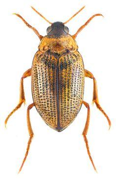 Haliplus (Neohaliplus) lineatocollis