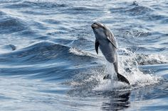 Wonderboy - Tursiop dolphin jumping outside the water. Photography by Andrea Izzotti