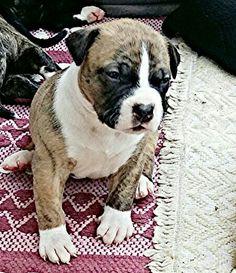 American bulldog - Yuuki -