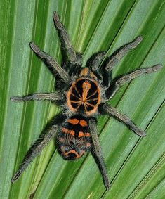Hapalopus sp - the Colombian Pumpkin Patch spider