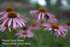 to the Midwest and southeastern United States. The daisy-shaped flowers are individually arranged on