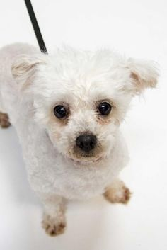 Meet Brioche, a Petfinder adoptable Coton de Tulear Dog | Saint Louis Park, MN | Thank you for stopping by to see me!  Come and meet me at the following adoption events or apply...