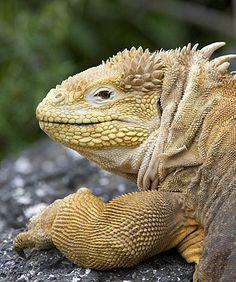 ˚Land Iguana