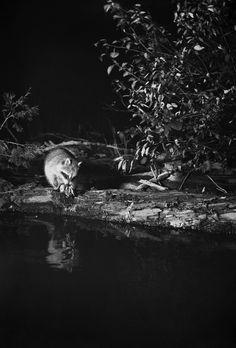 George Shiras, L'intérieur de la nuit au Musée de la Chasse et la Nature. George Shiras, Raton laveur, Whitefish Lake, Michigan, 1903. © National Geographic Creative Archives