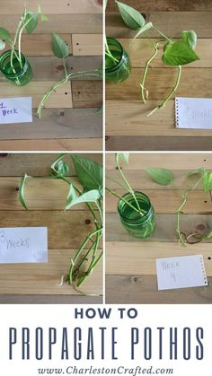how to propagate pothos plants from cuttings in water - the easiest way! Pothos is a beautiful, easy to care for house plant. When yours gets a little long, here is how to take a cutting and propagate your pothos to create new plants! Pothos In Water, Water Plants, Garden Plants, Cactus Plants, Potted Plants, Pothos Plant Care, Plant Cuttings, Pothos Vine, Plante Pothos
