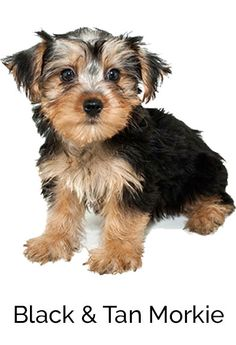 Thinking About Getting A Morkie Puppy? Want To Learn More About The Morkie Breed? Here Is The Full Morkie 101 To Answer All The Questions You Might Have About Morkies | The Morkie Guide