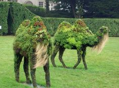 Topiary camels...  My quandry, to pin on which board...Gardening or Creatures/Critters...
