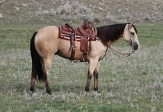 """Ranching - Trail - Heading>>This handsome long mane buttermilk buckskin is """"BeBe"""" he enjoys lazy day picnics in the sand, long rides in the mountains and a day of working cattle along side mans Roping Horses For Sale, Quarter Horses For Sale, Buckskin Horses For Sale, Barrel Racing Horses, Barrel Horse, Cute Horses, Pretty Horses, Horse Saddles, Western Saddles"""