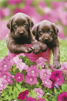 Adorable labs!! Now that I have one, I'm a huge fan!! ;) wish mine was still this small!