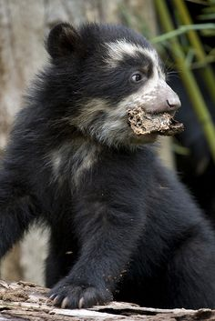 Andean Bear cub by Smithsonians National Zoo on Flickr.
