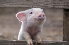 What a cutie!  #HappyAlert via @Happy Hippo Billy Cute Baby Animals, Animals And Pets, Funny Animals, Farm Animals, Animal Babies, Vegan Animals, Pet Pigs, Baby Pigs, Teacup Pigs
