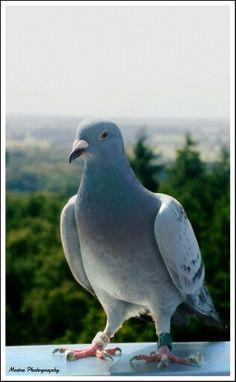 Postduif,  pigeon, duif,  kaapse bossen, Utrechtse Heuvelrug, kaap
