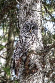 Is that an owl or a chameleon? Beautiful Owl, Animals Beautiful, Cute Animals, Majestic Animals, Owl Photos, Owl Pictures, Strix Nebulosa, Great Grey Owl, Gray Owl