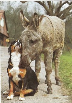 barnyard friends but not usually~ most donkeys view dogs as coyotes/predator! So this is exceptionally sweet and amazing!