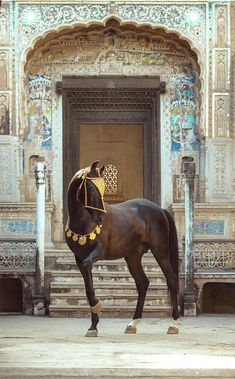 Marwari stallion, NAAGRAJ, owner Thakur Prithviraj Singh, in Rajasthan, India. Beautiful Arabian Horses, Pretty Horses, Horse Love, Marwari Horses, Horse Costumes, Friesian, Horse Pictures, Horse Photography, Palomino