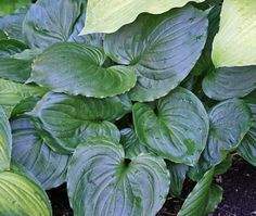 Lakeside Black Satin Hosta Description (M. Chastain 1993) Large Hosta Cultivar Attractive mound of heart-shaped dark green leaves with crimped margins. Leaves are shiny and have good substance. Hosta 'Lakeside Black Satin' is a seedling from Hosta ventricosa. Purple flowers in mid-summer. Color: Dark Green Size: 22 inches tall by 48 inches wide Type: Slug Resistant Green Hosta