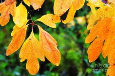 sassafras leaves pictures   Sassafras Leaves