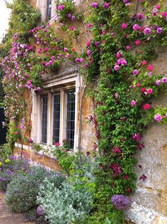 'Seven Sisters' Climbing Rose at Coton Manor | via Susan R love the colour against buff wall