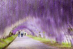 schönsten reiseziele, blumen-tunnel in japan