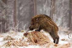 Wild boar. Photographer: Adamec - Pixdaus