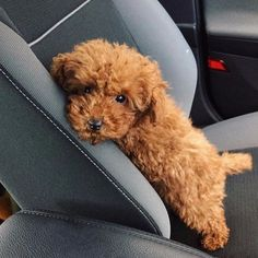 "Explore our internet site for even more details on ""poodle dogs"". It is a superb spot to learn more. Toy Poodle Puppies, Cavapoo Puppies, Dogs And Puppies, Toy Labradoodle, Cockapoo, Toy Poodle Red, Miniture Poodle, Mini Poodle Puppy, Micro Poodle"
