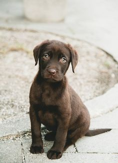 Almost too cute.... chocolate brown labrador puppy