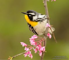 Yellow-throated Warbler. Photo by David Seibel in Wyandotte County KS.